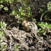 This ground squirrel was burrowing, very cute like