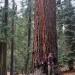 Nice Sized Sugar Pine