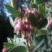 The manzanita is blooming already