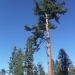 More sugar pines, like the one's we visited last weekend