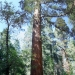 Tuolumne Sequoia Grove