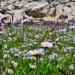 Wildflowers near Upper Lewis Lake