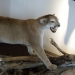 Cougar at the North American Game Warden Museum
