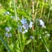 Wild Forget-Me-Nots?