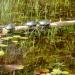 Turtles sunning at Lake Richie