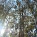 The eucalyptus trees