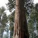 Sequoia or Sierra Redwood