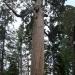 Old Bachelor Tree