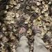 Aspen Leaves are falling