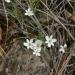 Meconella californica / California Fairy Poppy