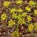 Lomatium congdonii / Mariposa desertparsley and Congdon\'s lomatium