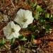 Datura stramonium/ Jimson weed