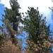 Sugar pine versus another pine
