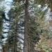 Posing near one of my favorite sugar pines