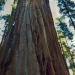 Sequoia at Merced Grove