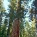 Me & the sequoia