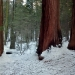 sequoias on the trail