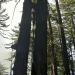 Redwoods that have grown together!?