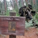 Fallen Stable tree shows impact that horses had on the sequoias before automotives were introduced