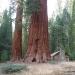 Sequoias surrounding the Galen Clark cabin