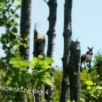 Moose on Mount Ojibway Trail