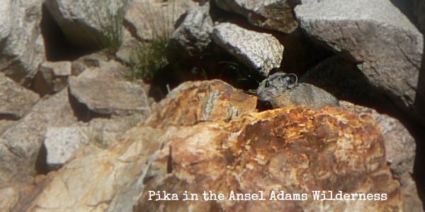 Pika in Ansel Adams Wilderness