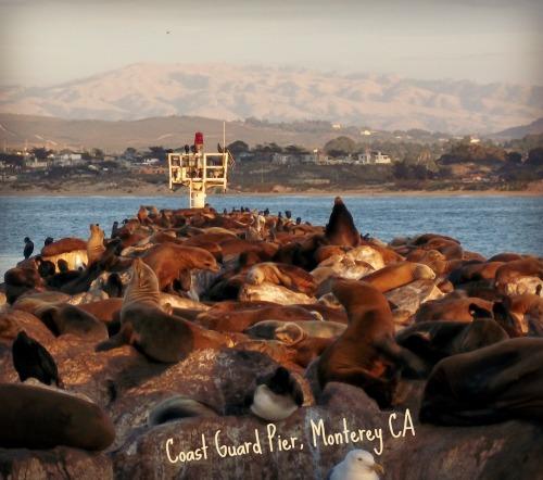 Sea Lions at Monterey Coast Guard Pier