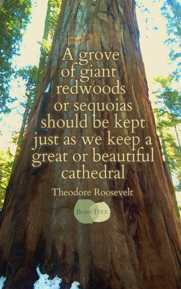 A grove of giant redwoods or sequoias should be kept just as we keep a great or beautiful cathedral - Teddy Roosevelt