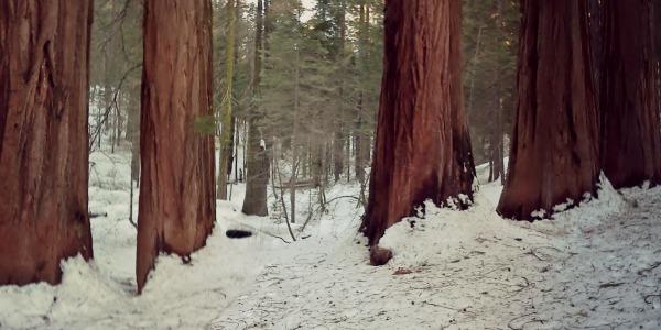 Merced Grove in winter