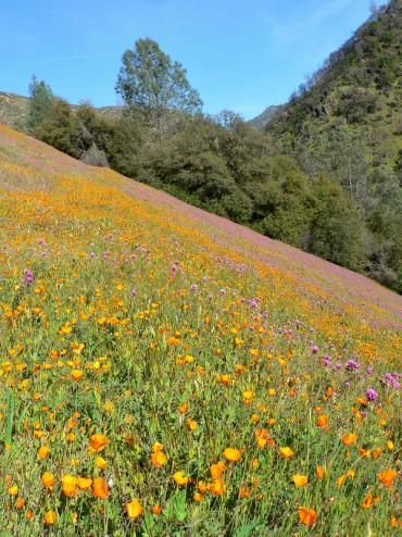 Merced River Canyon Poppy Field