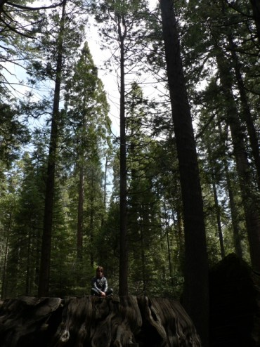 A former giant sequoia