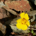 Redhills Monkeyflower