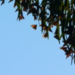 Monarchs in Pacific Grove