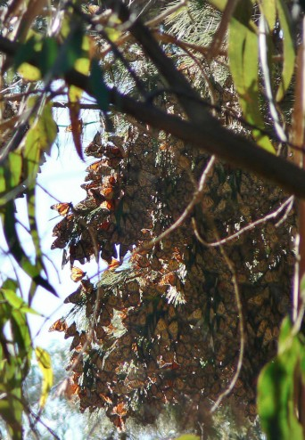 Butterflies Migration - Pacific Grove, CA