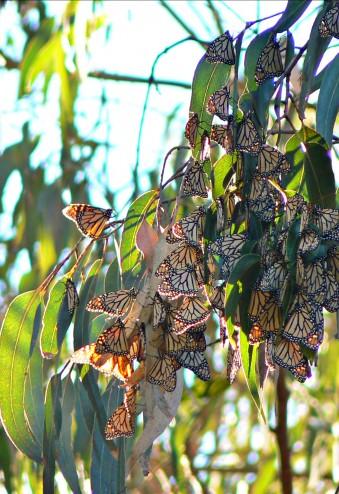 Monarch Migration, Pacific Grove CA