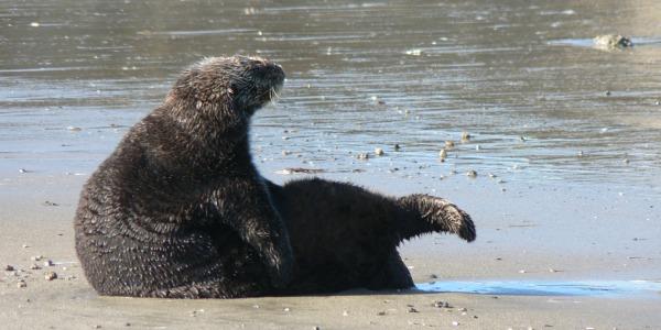 Moss Landing Sea Otter