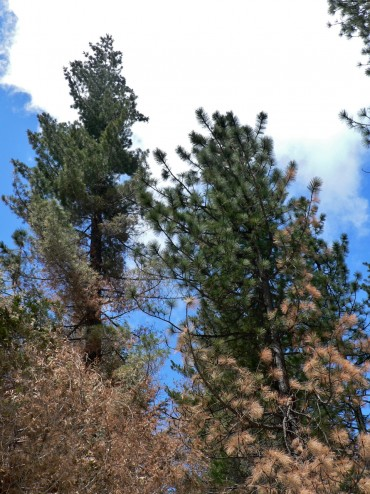 How to identify a sugar pine.