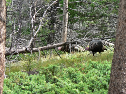 Turkeys on Deer Mountain