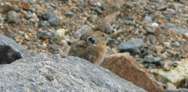 Pika Rocky Mountain National Park