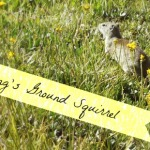 Belding Ground Squirrel