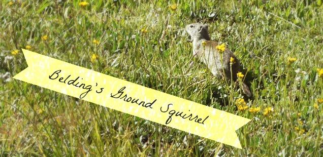 Belding Ground Squirrel
