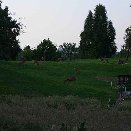 Golf Course Deer Herd