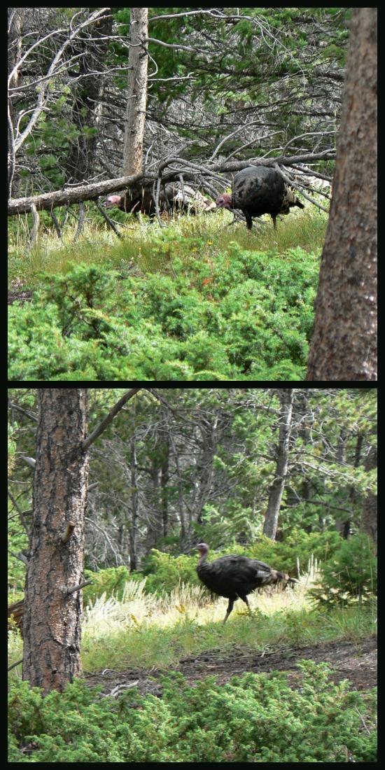 Turkeys and RMNP