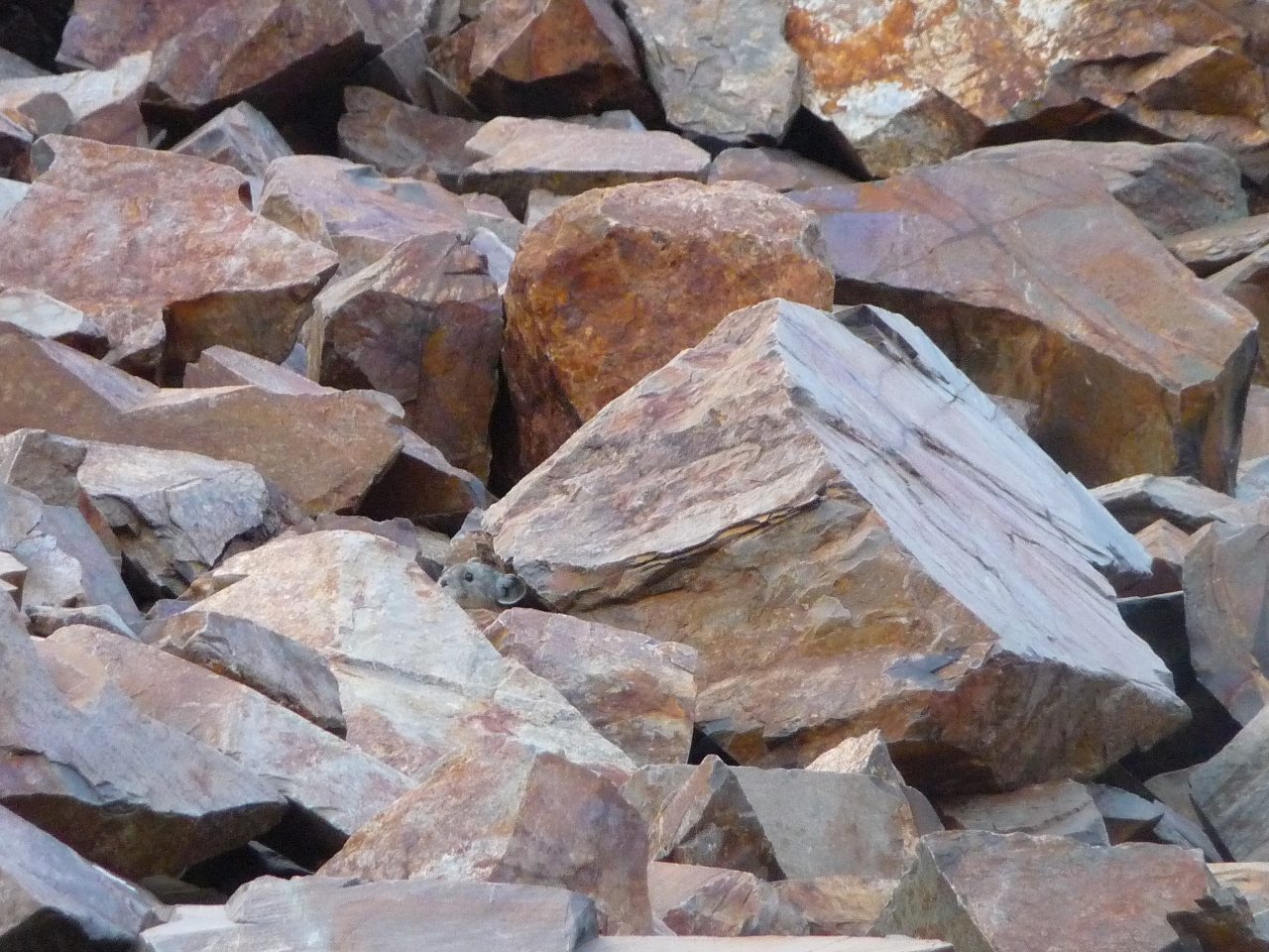 Pika at Lake Genevieve