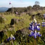 Table Mountain: It is a Wildflower Mountain!