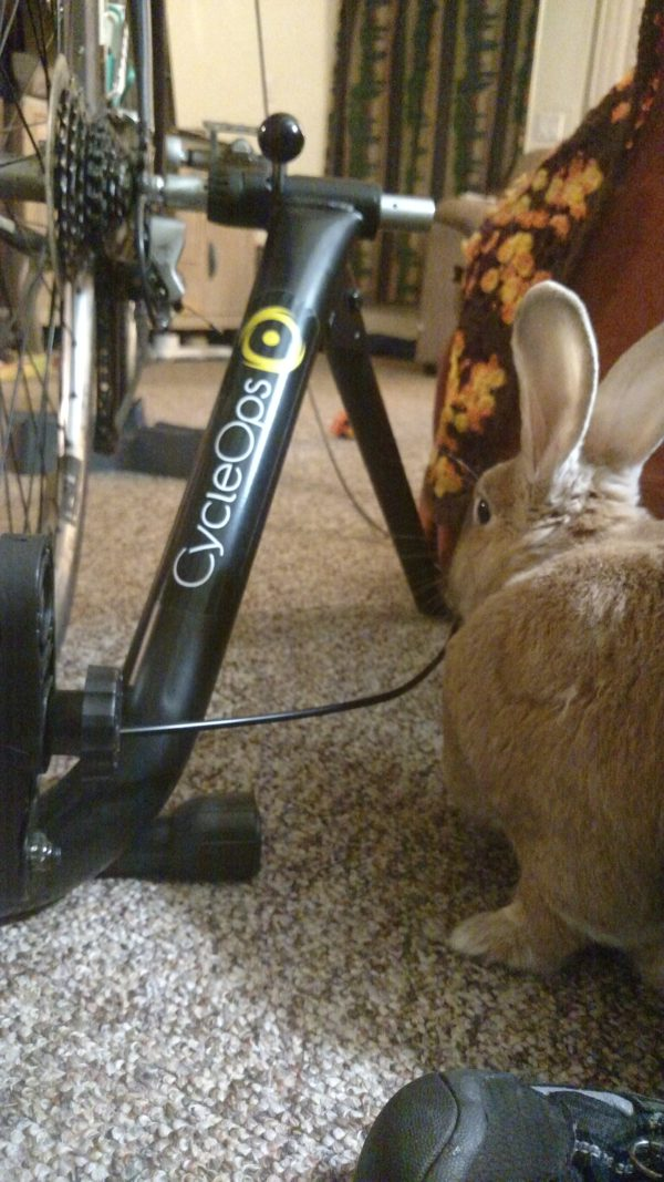 Basil, Bunny-No! Not the bike trainer!