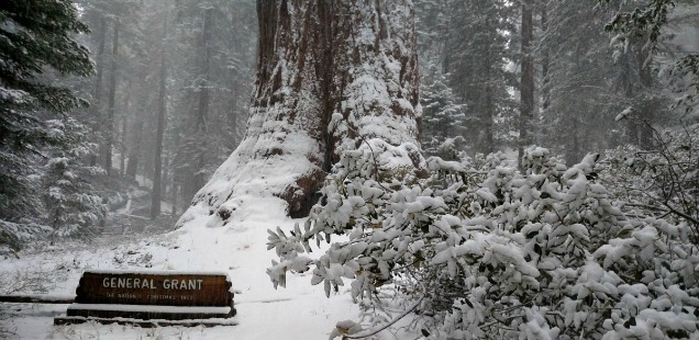 General Grant Tree, Kings Canyon: Merry Christmas from the Nation's Christmas Tree